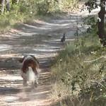 Saffy in full pursuit of partridge