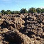 Rocher des Druides walk Oct 16 - dumped lavender stalks