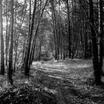 Lacoste woods